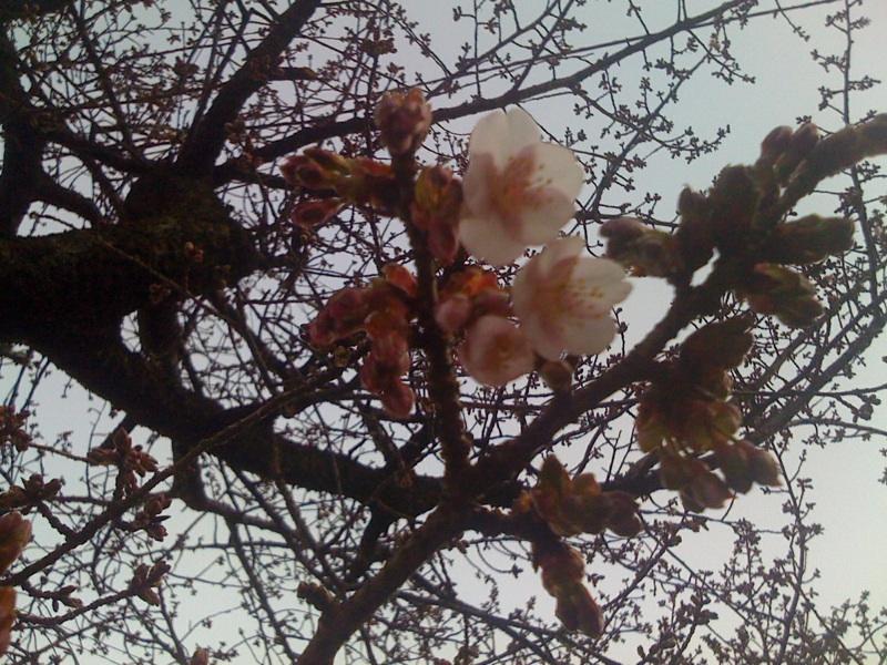あたみ桜が咲き始めました。