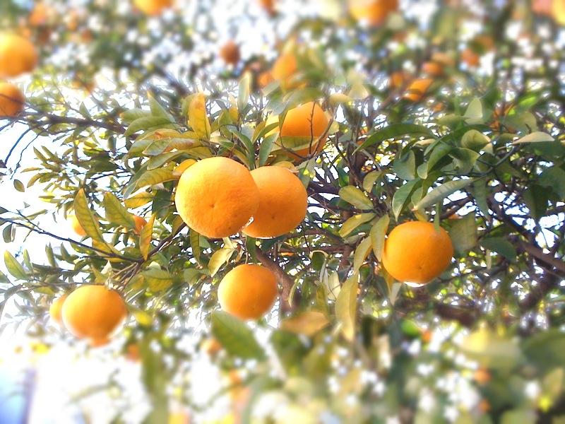 スカッとさわやか柑橘類