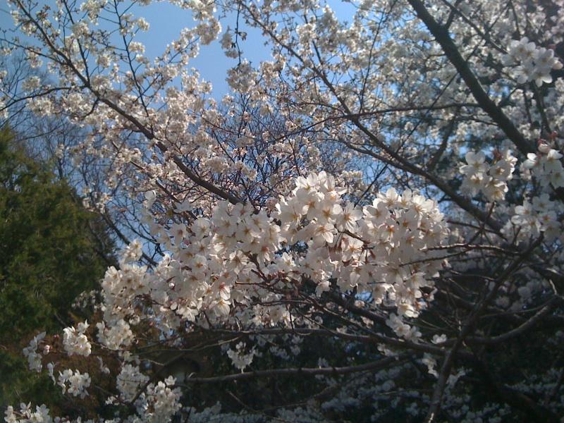 連日の桜!