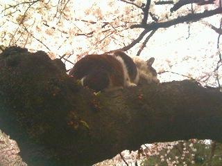 木登り猫?花見猫?